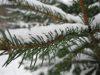 Snow covered pine branches