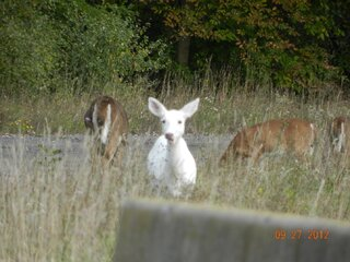 All White White Tailed Deer