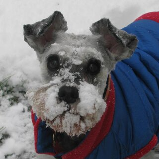 Our Schnauzer Snowplow!