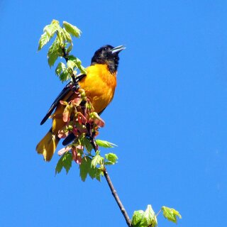 Baltimore Oriole - A Sweet Herald of May