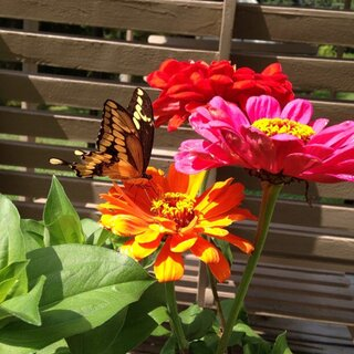 Butterfly and zinias