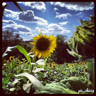 Sunflowers and sky.