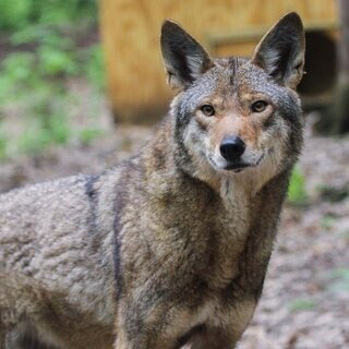 Red Wolves at the Binghamton Zoo