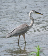 Heron in the Chenango