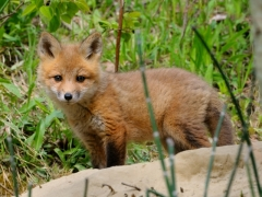 Red Fox Kit emerges from his den