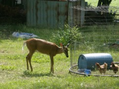 Doe comes to visit chickens
