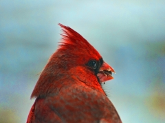 Windblown Cardinal!