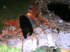 Black Bear visits Smith Rd. Conklin- Apr