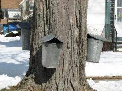 Sap Buckets are a sure sign of Spring.