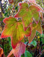 Frosty Grape Leaves!