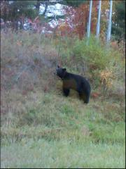 Bear on the High way