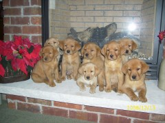Fox Red Lab Pups