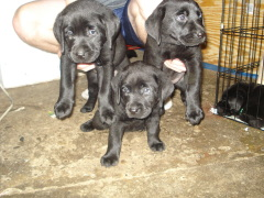 Black lab female puppies available