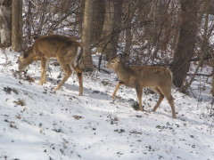 The twin fawns are still here.