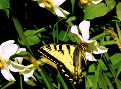 Swallowtail Butterfly & Pheasant's Eye D