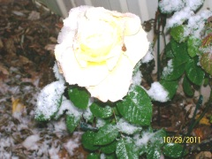 Yellow Rose of Conklin