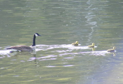 Gosling outing