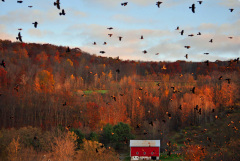 Attack of the Red Winged Blackbirds!