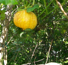 Pumpkins grow on bushes?