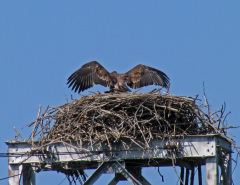 American Bald Eagle Fledglings