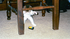 Beware the vicious attack kitten!
