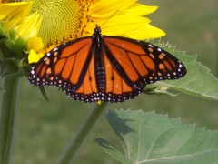 Monarch Journey