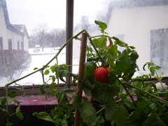 Tomato growing in the