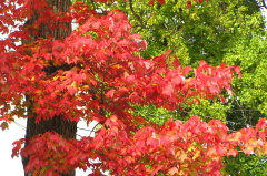 Maple in Red Glory (Riverside Drive)