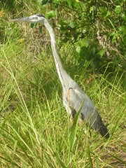 Great blue heron  ON THE WAY IN AND OUT