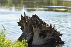 Snapping  Turtle on a Stump