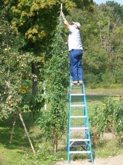 Over 14 ft high tomato plant