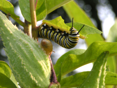 Monarch Caterpillar & Snail on Milkweed