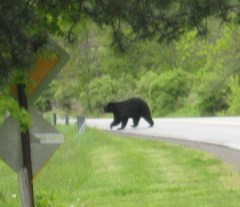 Bear Seen in Unadilla