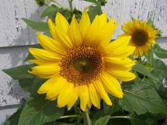 Summertime Dwarf Sunflowers