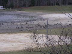 Volleyball Geese