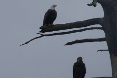 Eagles On The Delaware River