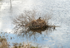 Canada Geese Nesting at Marshland