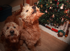 Shamus the labradoodle smells a holiday!