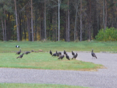 Turkeys going to church