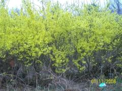 Yellow Forsythia Blossoms /flowers