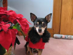 Brody the Chihuahua is ready for Santa