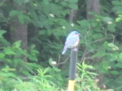 Blue bird waiting to feed the babies