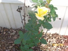 last rose of summer