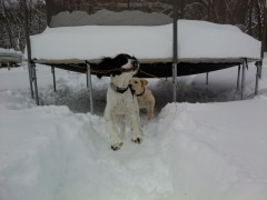 Roscoe and Daisy playing in the snow.