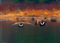 Geese at Braggs Pond Brook