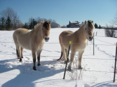 Mares in winter