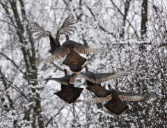 Wild Turkeys taking flight.