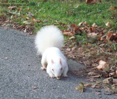 Rare albino squirrel in Oneonta
