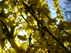 Forsythia Bush Lights up!