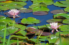 Waterlilies in the Adirondacks